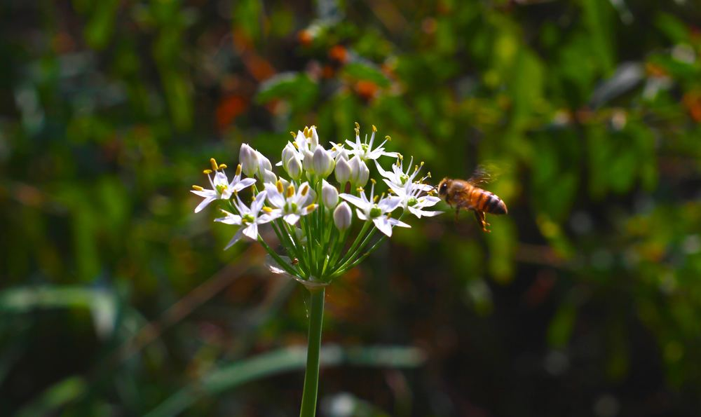 A honeybee preparing a landing for a nectar feast on a garlic chive at one of our bee yards.