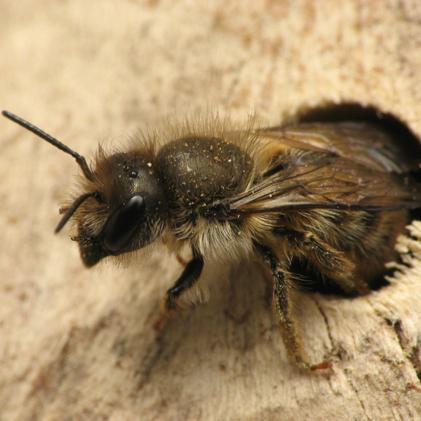 10 mason bee cocoons two hives honey