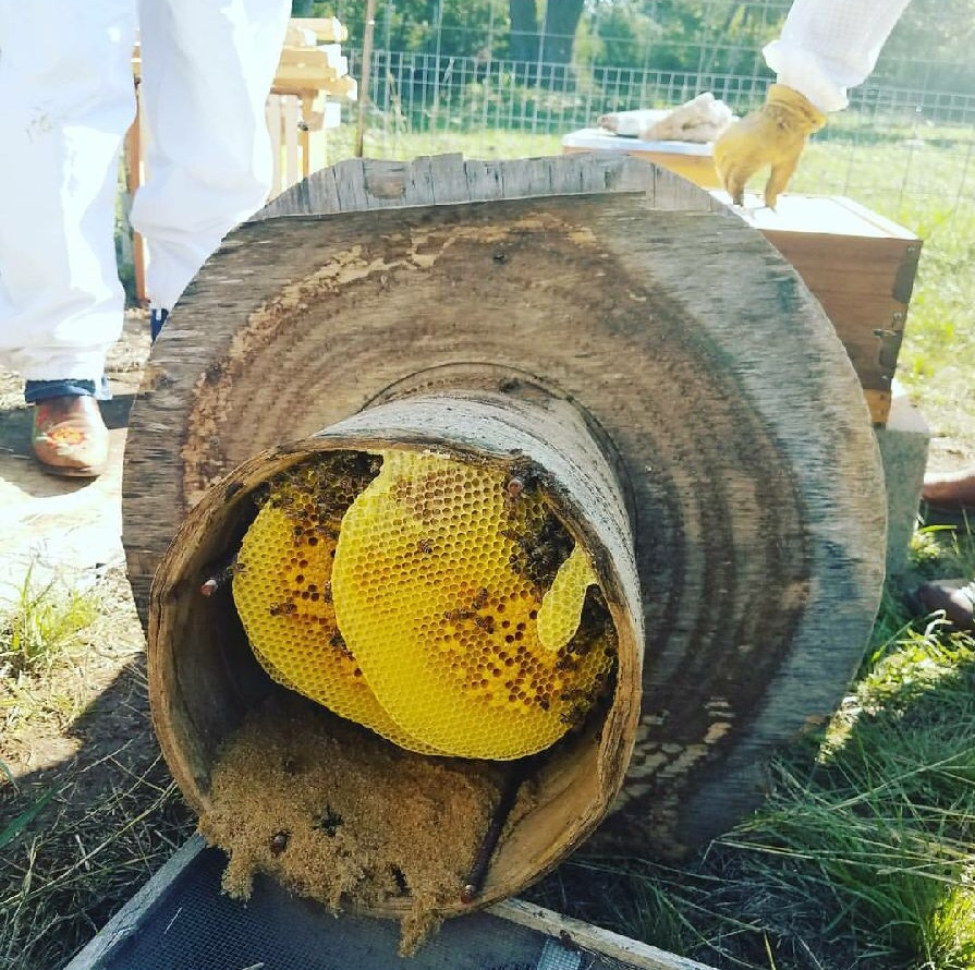 If you see beeswax comb such as in the picture above, you have an established colony and will need to contact a removal service.