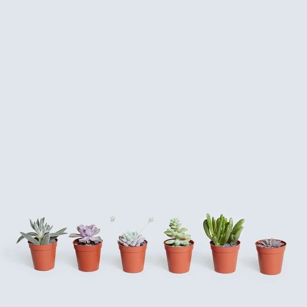 The Sill Mini Succulent Assortment $36