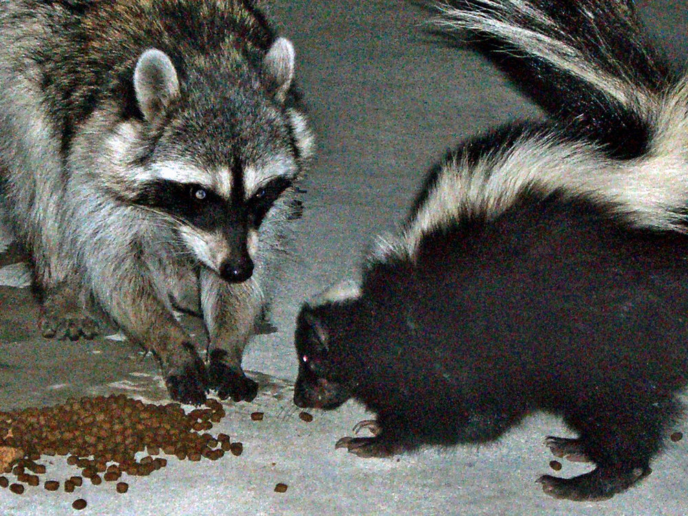 The Cerritos City Council adopted a resolution that specifically prohibits feeding wildlife. Wikipedia photo
