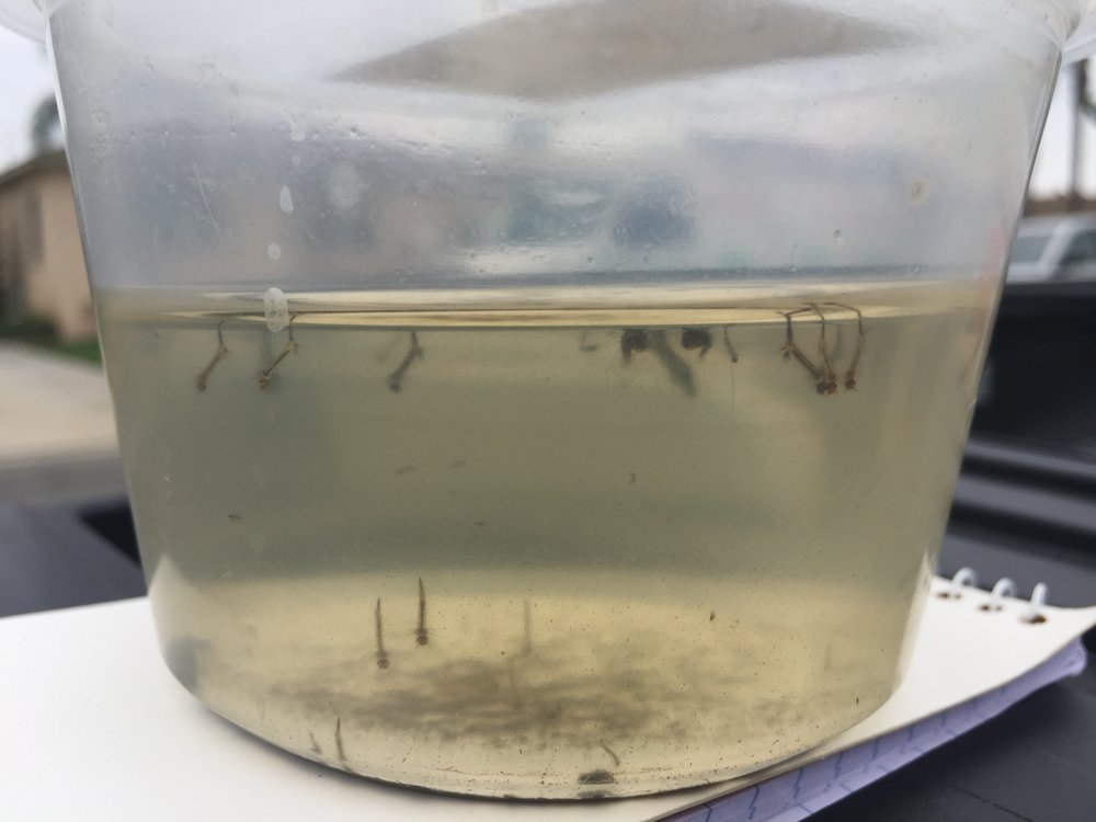 Samples of adult aedes mosquitoes were discovered in Downey last week. Image courtesy Alex Lopez