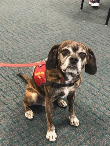 Doc, a female brindle puggle, is one of PIH Health's 15 active therapy dogs.
