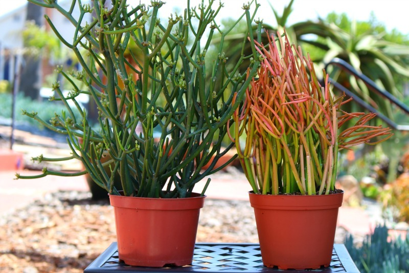 fire stick plant.jpg