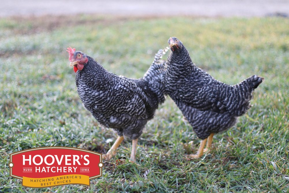 Barred Rock - The hens lay a medium brown egg. Mature body weight of 5 to 5.5 lbs. Excellent layer, medium brown shell color. Available mid-February through June.