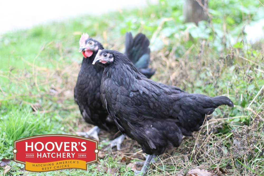 Black Australorp - One of the best breeds for newcomers to chickens, and for families with young children. Named for the English town where they were developed, Orpingtons come in several feather colors but all are big quiet birds with fluffy feathers that keep them toasty warm during frigid weather. Black Australorps are Black Orpingtons that originate from Australia. APPROX. 220 MEDIUM EGGS/YEAR | EGG COLOR: BROWN | MATURE WT: MALE 8.5 LBS. FEMALE 7 LBS.