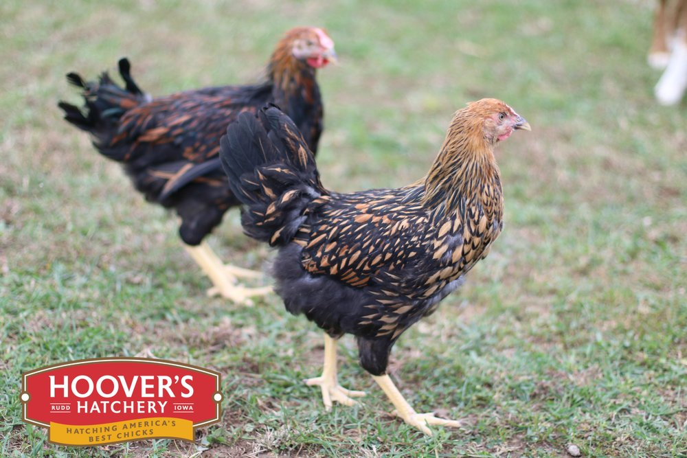 Golden Laced Wyandotte - Wyandottes aren't all show with their elegantly patterned feathers. They are also great egg layers. Wyandottes are one of the most strikingly beautiful chickens to grace a backyard flock. Developed in New York, they are quiet, easy to manage and are of the most winter hardy of all breeds.