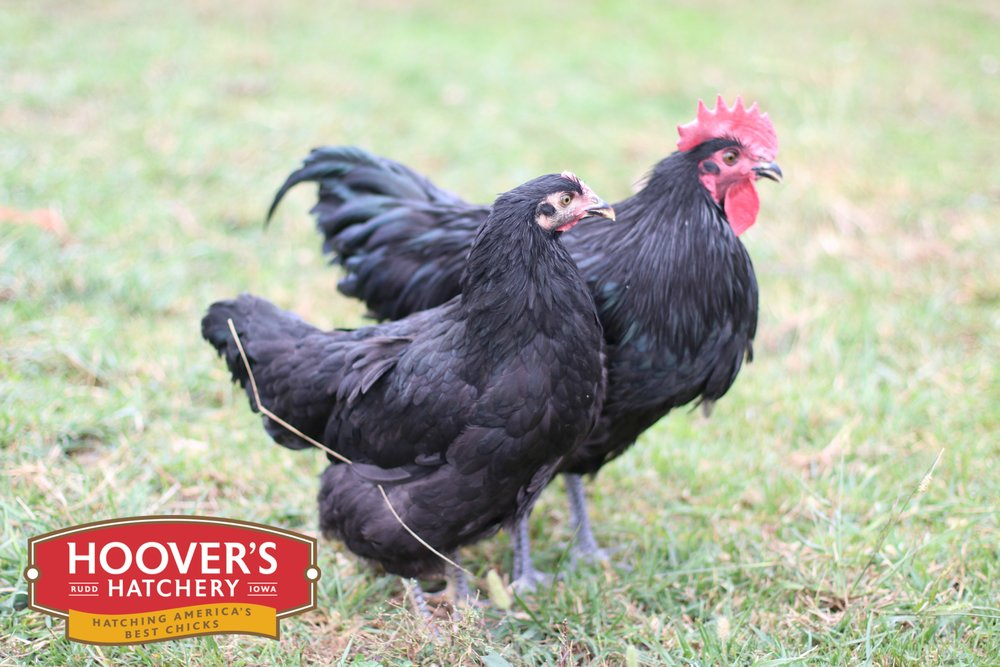Jersey Giant Black - In the late 1800's New Jersey breeders created a chicken designed to rival the meatiness of the turkeys back then. The massive Black Jersey Giant was the result of merging the genetics of several large breeds. Later the White Jersey Giant was created. They grow slowly but eventually are a third larger than most other heavy breeds. It can take up to 9 months for this bird to fill out its meat proportions. APPROX 240 X-LARGE EGGS/YEAR |EGG COLOR: BROWN | MATURE WT: MALE 11 LBS. FEMALE 9 LBS.
