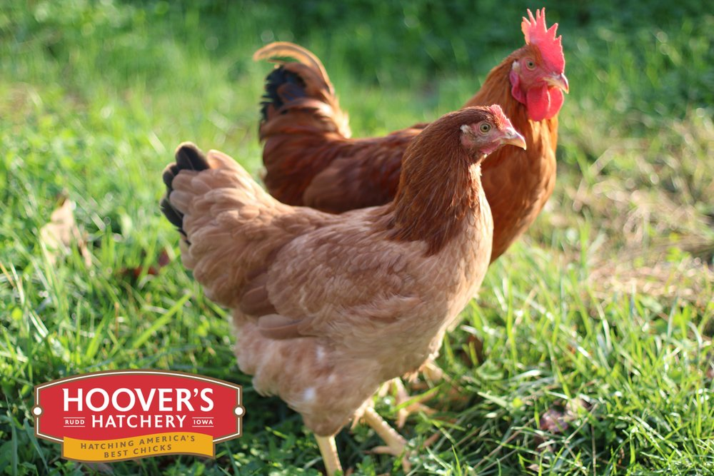 New Hampshire Red -  The New Hampshire Red grows a bit faster than the Rhode Island Red and was an important broiler breed until the era of modern hybrids. The New Hampshire Red pullet sports light rusty red feathers and lays about 240 eggs each year. APPROX. 240 MEDIUM EGGS/YEAR | EGG COLOR: BROWN | MATURE WT: MALE 6.5 LBS. FEMALE 6.5 LBS.