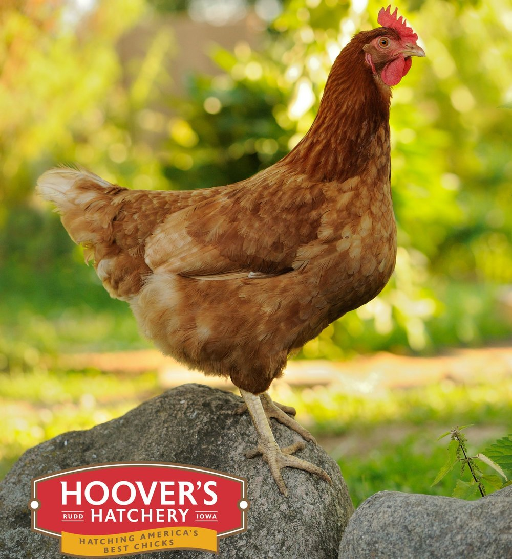 Production Red - The Production Red isn't a true sex link, but it performs like one! This breed is one of the most hardy and productive birds Hoover's offers. The hens lay good sized eggs that have strong shell quality. APPROX. 260 LARGE EGGS/YEAR | EGG COLOR: BROWN | MATURE WT: MALE 6 LBS. FEMALE 5 LBS.