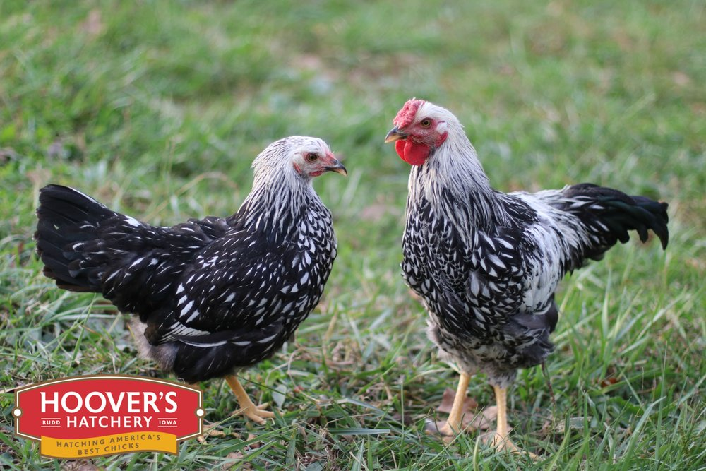 Silver Laced Wyandotte - These lacy girls aren't all show with their elegantly patterned feathers. They are also great egg layers. Wyandottes are one of the most strikingly beautiful chickens to grace a backyard flock. Developed in New York, they are quiet, easy to manage and one of the most winter hardy of all breeds.  APPROX. 245 MEDIUM EGGS/YEAR | EGG COLOR: CREAM | MATURE WT: MALE 7 LBS. FEMALE 5 LBS.