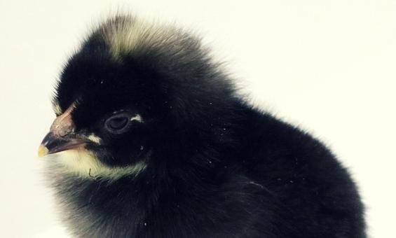 Black Maran (1).jpg