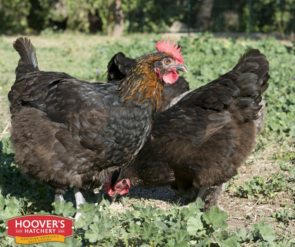 French Copper Maran - NEW - The Maran breed originates from a town called Marans, France. Its a very winter hardy breed with a docile temperament. They are more athletic and take to foraging and free ranging more often than other breeds. The French Copper Marans lay dark brown eggs. *Sold as straight run only. Approx. 175 Medium Eggs/Year | Egg Color: Darker Brown | Mature Wt: Male 6 lbs. Female 4.5 lbs.