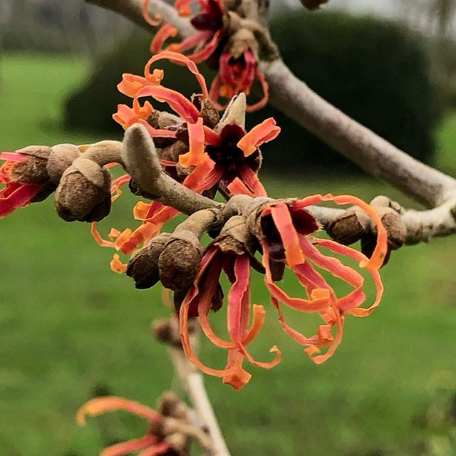 Hamamelis flowering countryhouse BDC#BDC