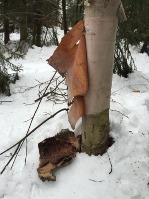 Birch Bark example. Try to get the bark that's fallen off the tree!