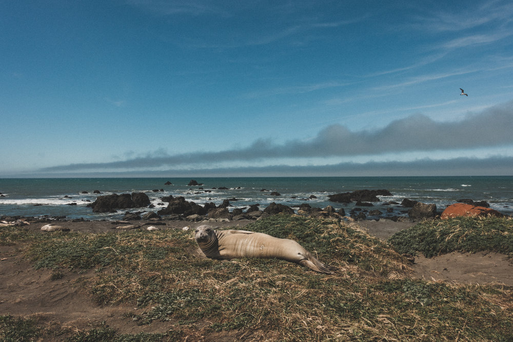Seals at the Lost Coast