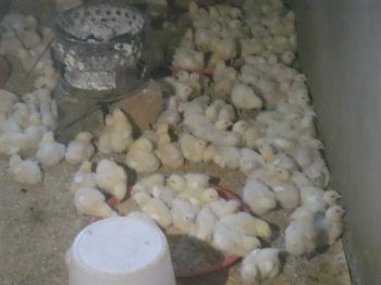 Makwati Women Group- First Stage of Chicken Project