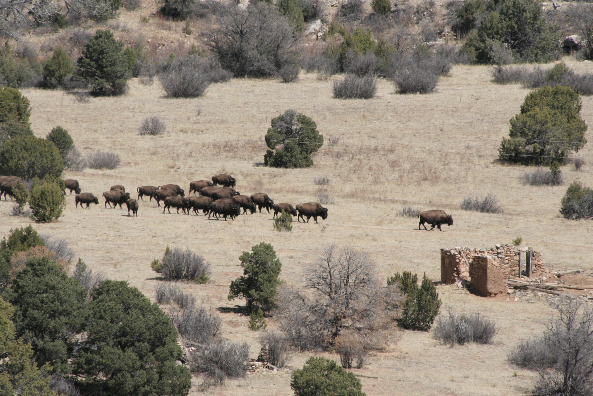 "The herd of American Bison at the Rio Mora Wildlife Refuge near Watrous, New Mexico. We were sitting on a cliff above the valley, admiring the view and the old stone house, wondering if we would be lucky enough to see ""the buffalo"" some time during the day, and then they came in a long string out of the junipers and pinions. Some of the yearlings hopped about and head-butted each other."