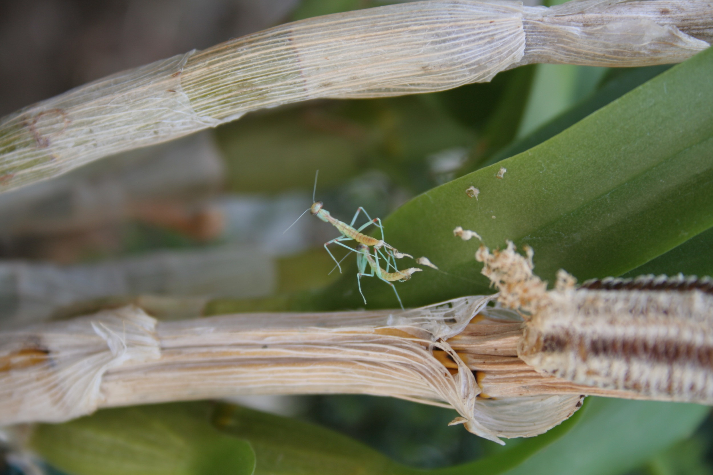 Hatching preying mantis repel out of the egg sac