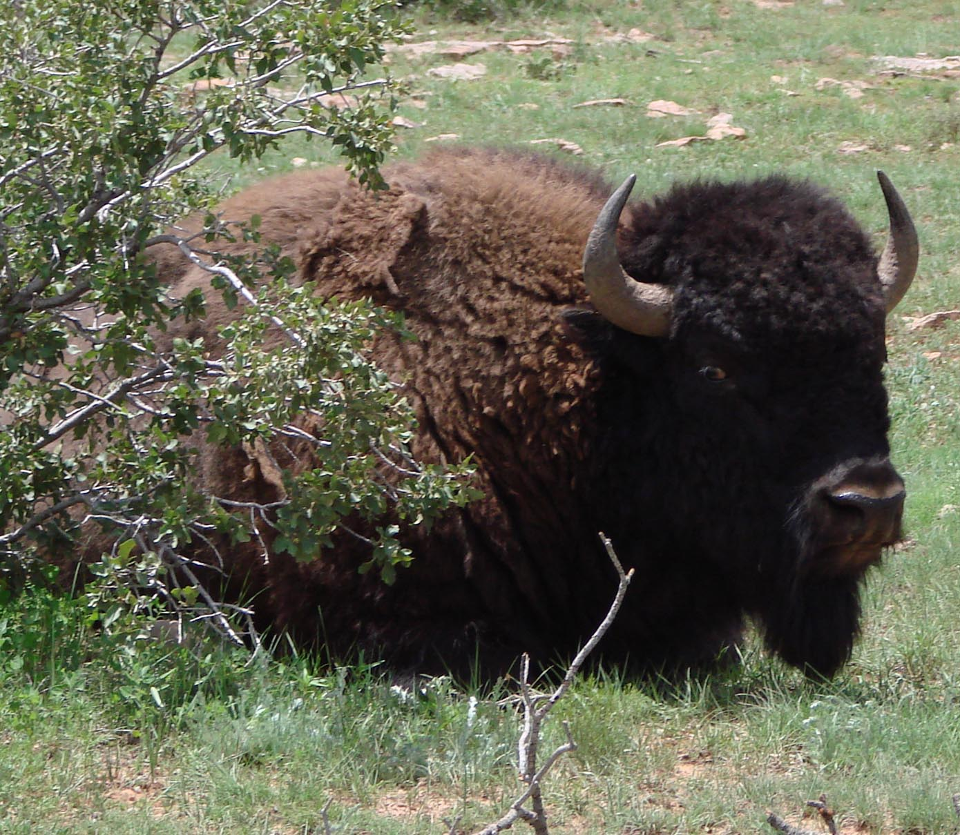 American Bison bull on the Rio Mora National Wildllife Reserve