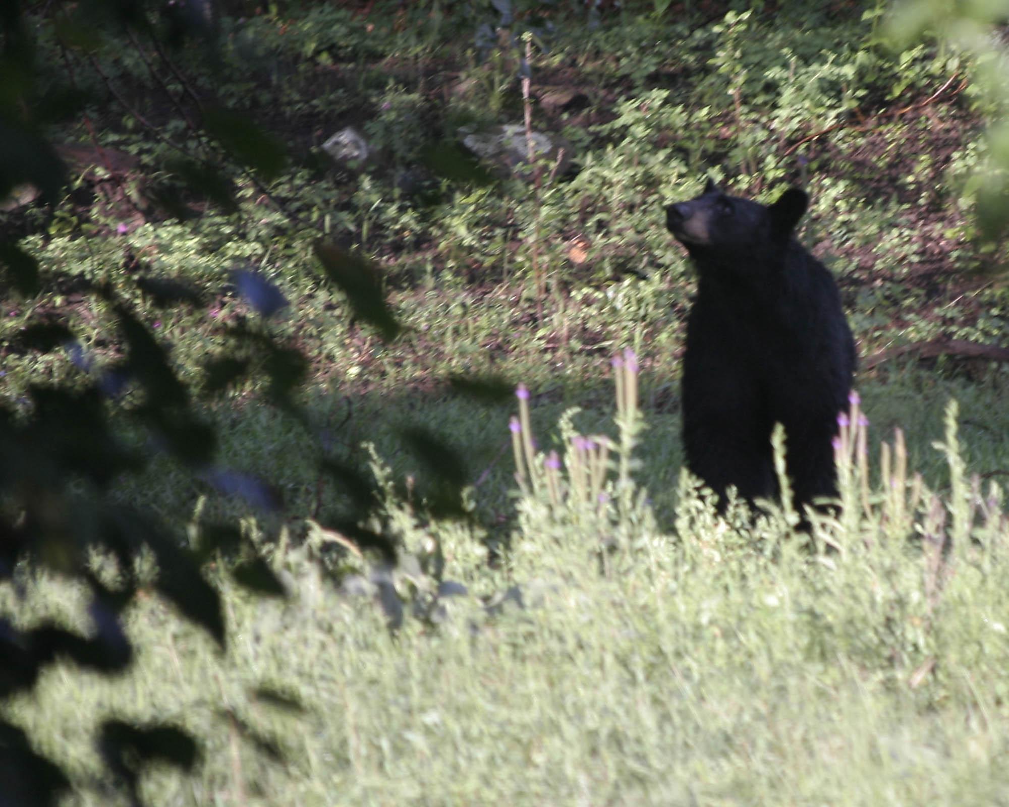 8-8 mama bear copy