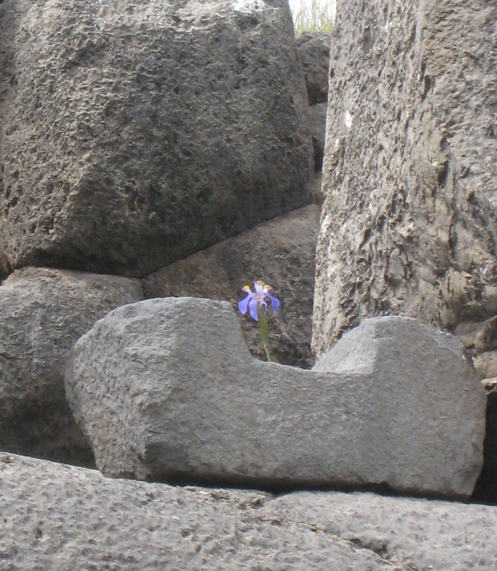 An iris sets its roots in the stones of the Inca at Sacsayhuaman, Peru