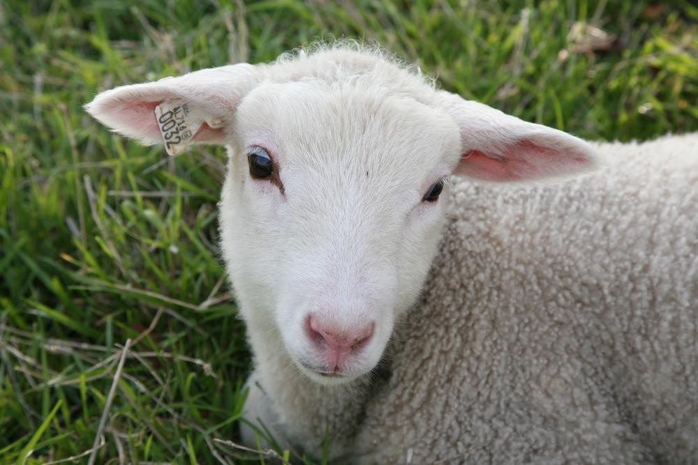 DSD-Lamb-Cuteness.png
