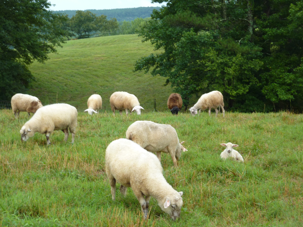 DSD-Sheep-In-The-Field.png