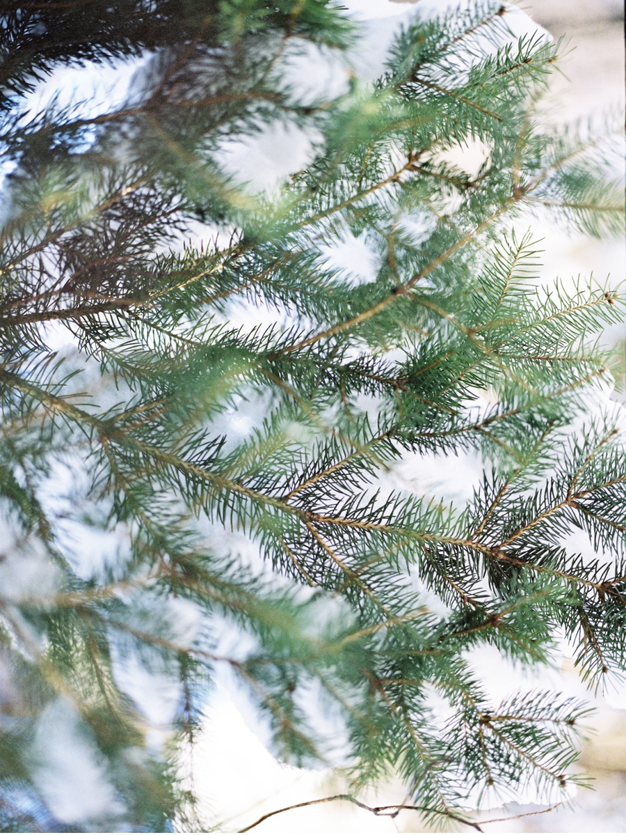 Pine-tree-in-winter