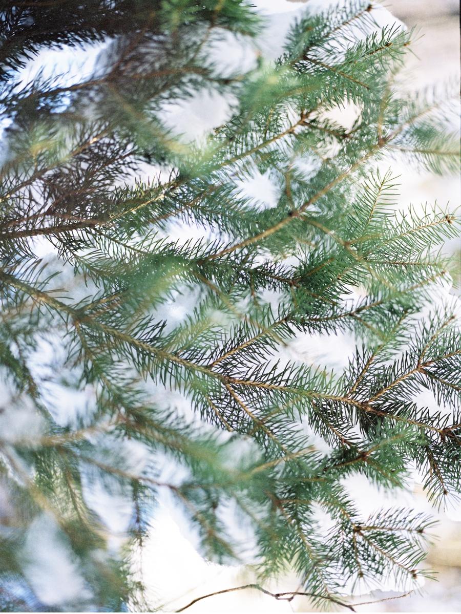 Pine-tree-in-winter
