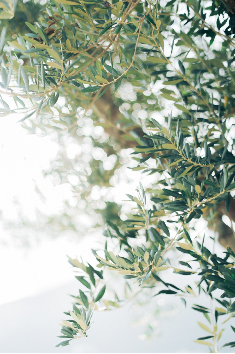 Olive-trees-Amalfi-Coast-Italy