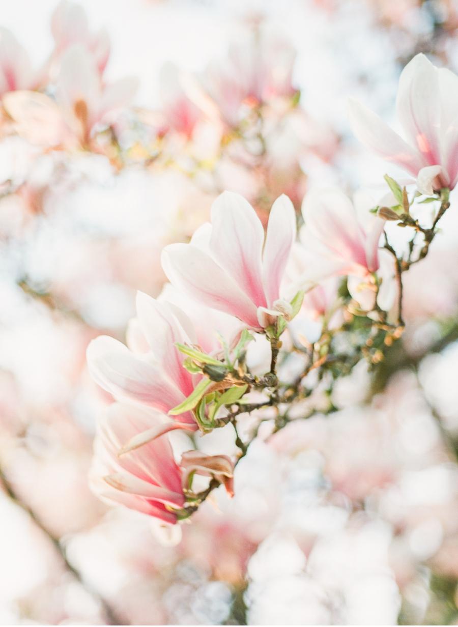 Vancouver-Magnolias-in-Spring