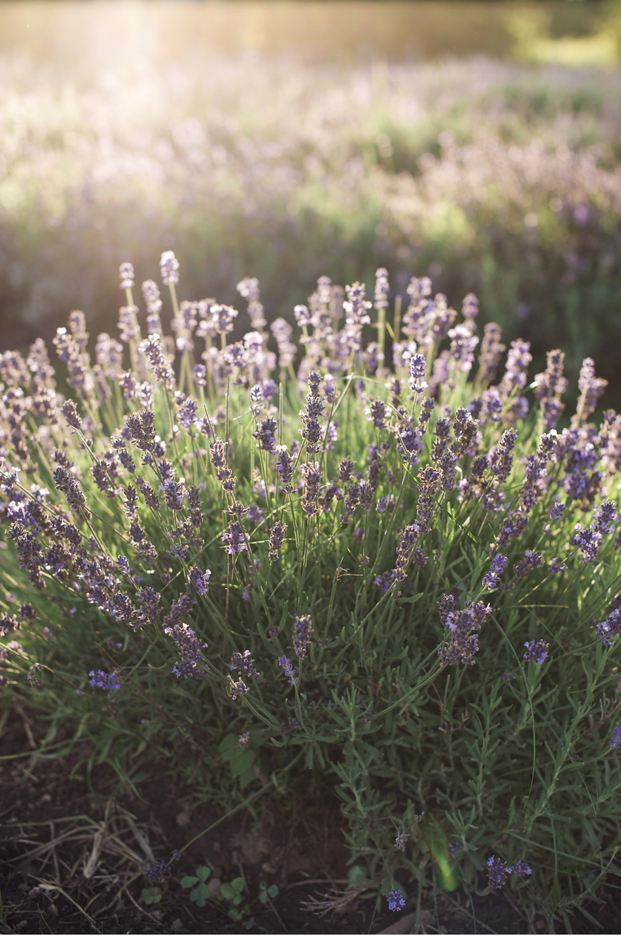 Lavender-at-Sunset-in-Quebec