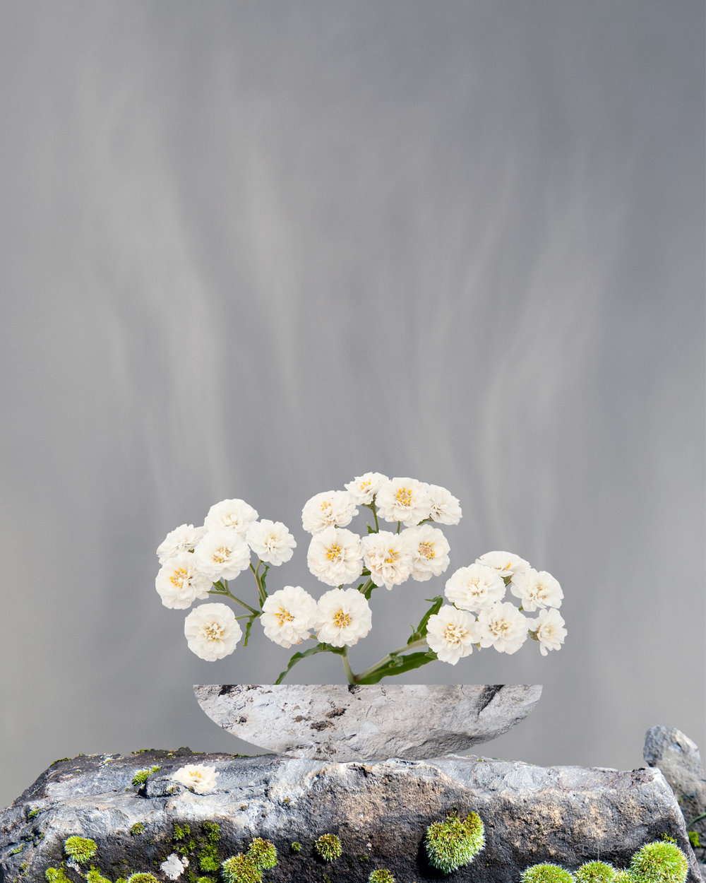 The Pearly Everlasting
