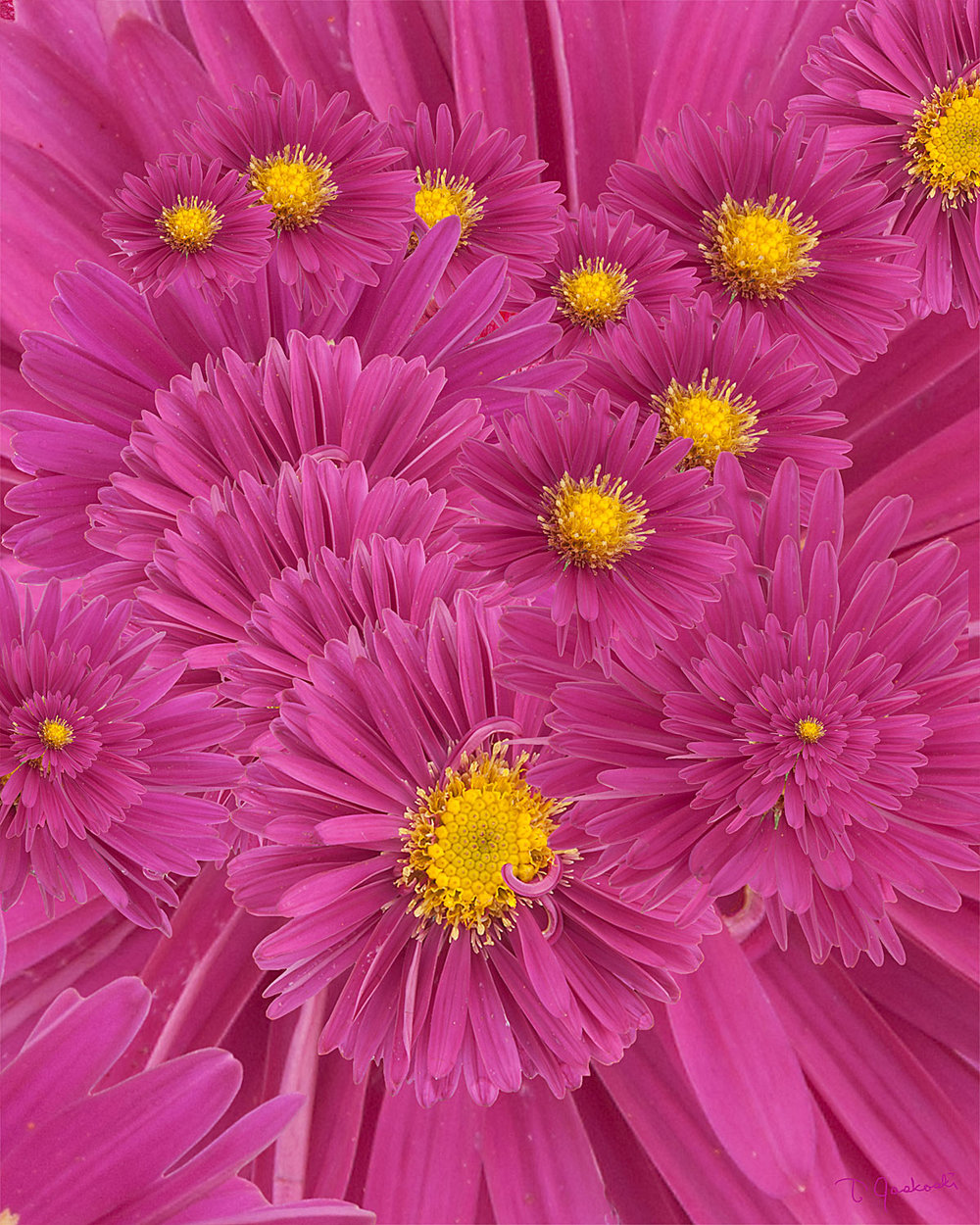 Aster Upon Aster Upon Aster