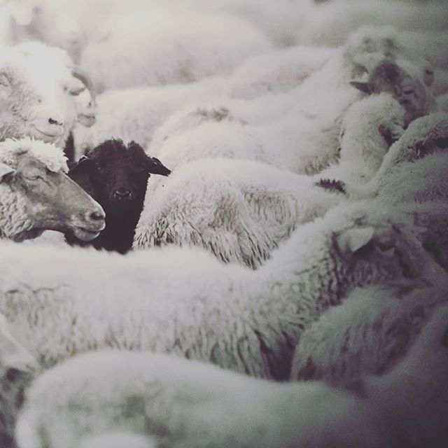 All sheep matter.