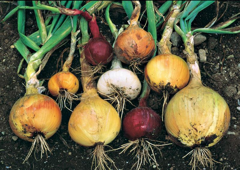 kg23-growing-onions-01.jpg