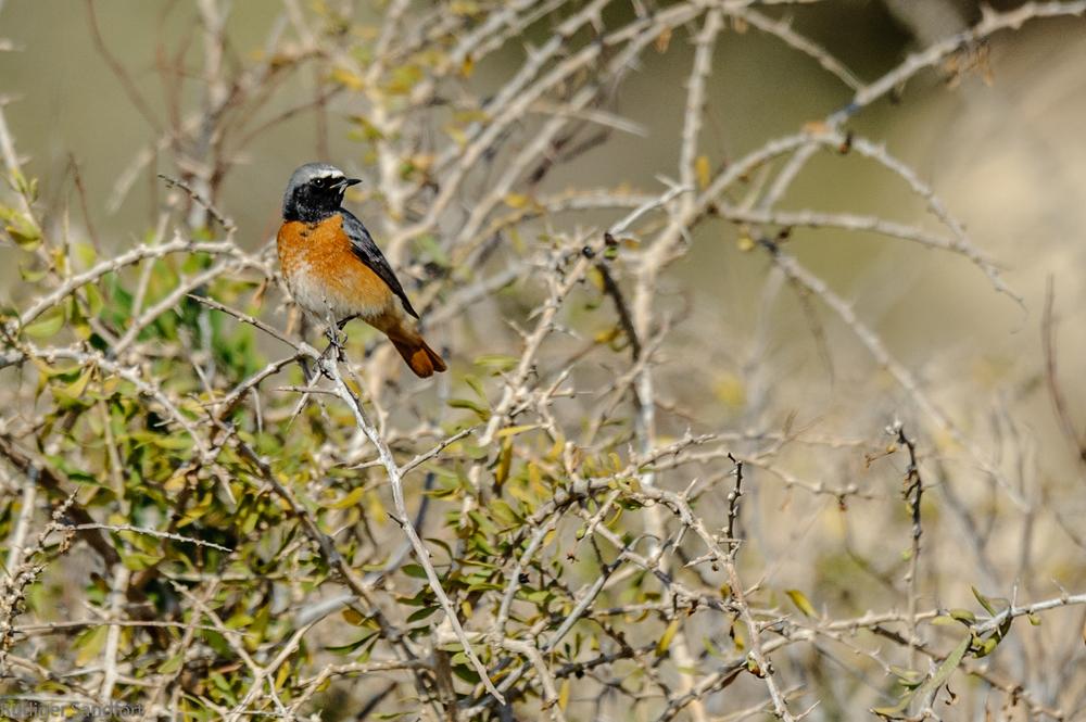 Common Redstart / Gartenrotschwanz