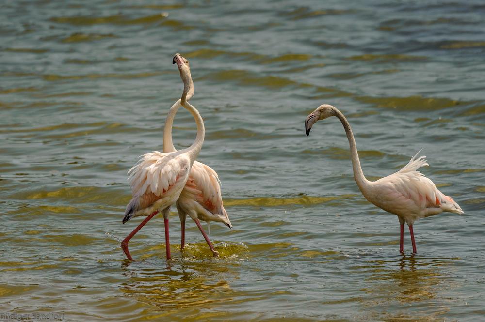 Greater Flamingo / Rosaflamingo