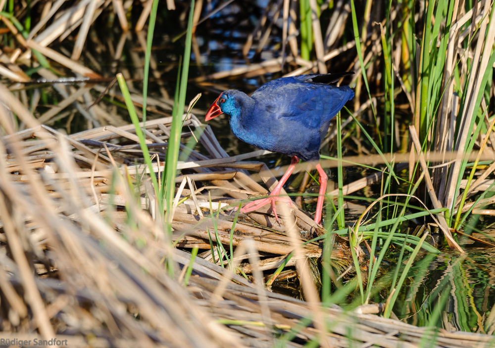 Purple Swamphen / Purpurhuhn