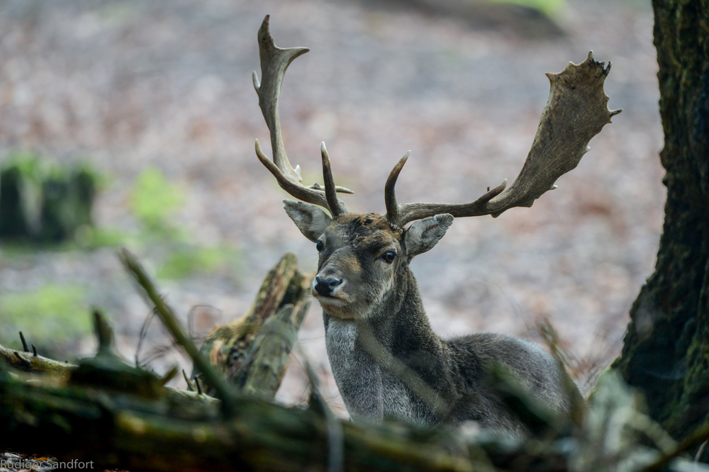 Fallow Deer / Damhirsch