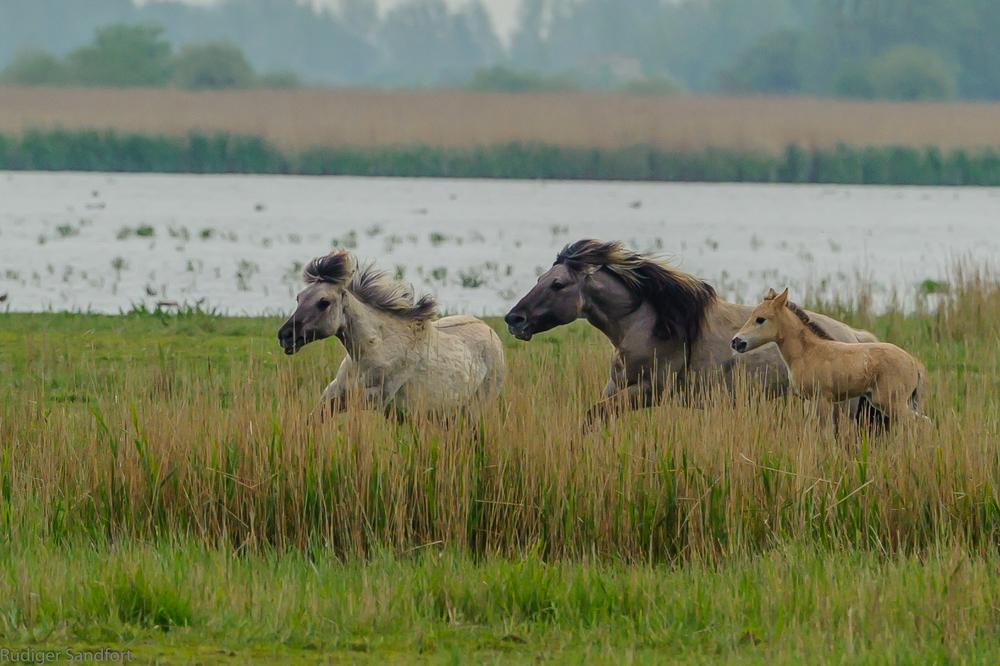 Wild Horses / Wildpferde
