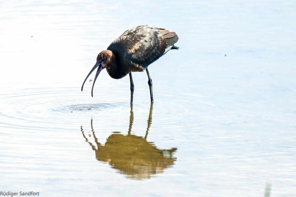 Glossy Ibis / Sichler