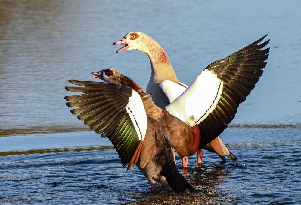 Egyptian Goose / Nilgans