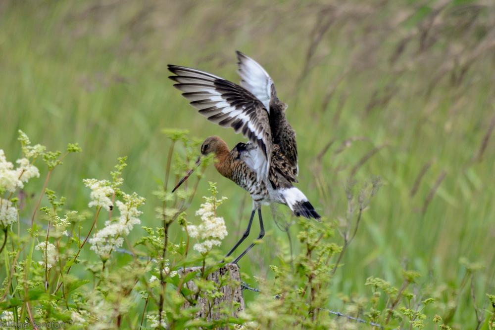Black-tailed Godwit / Uferschnepfe