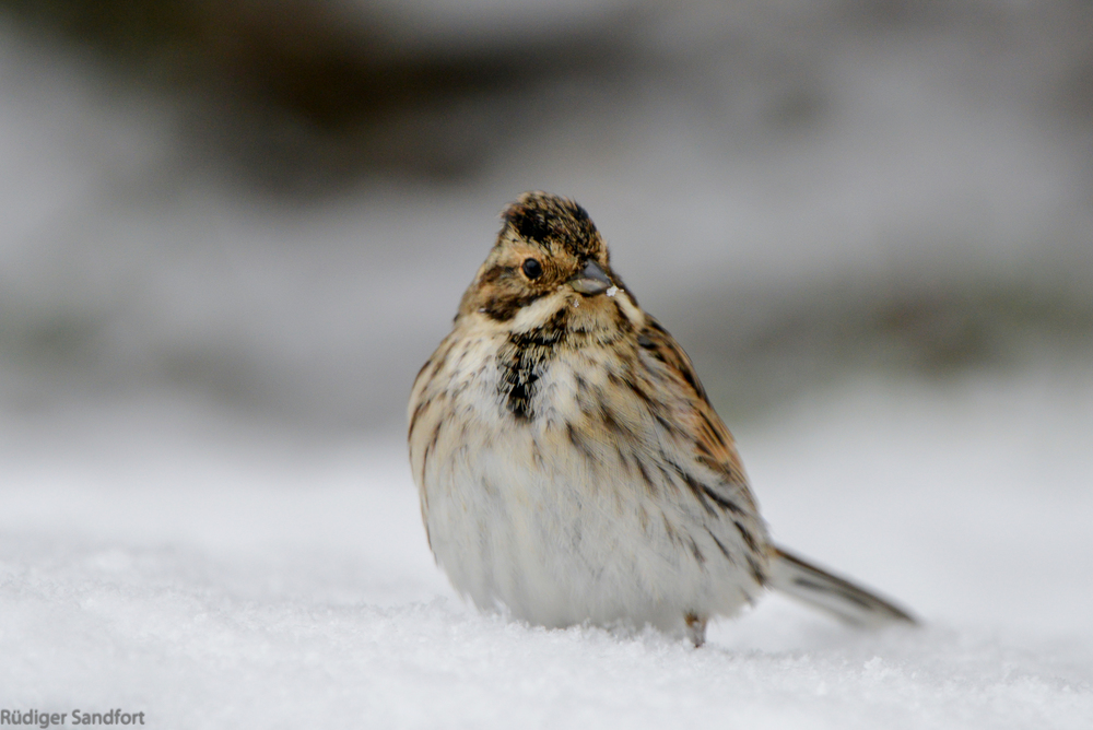 Common Reed Bunting / Rohrammer