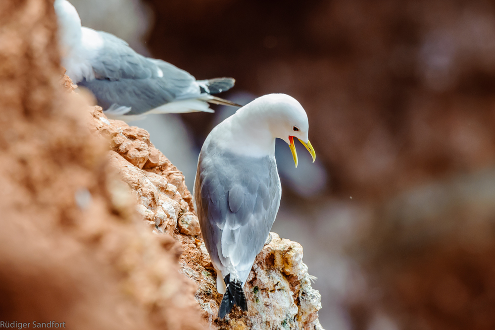Black - legged Kittiwake / Dreizehenmöwe