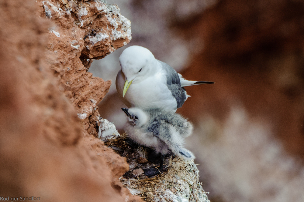 Black - legged Kittiwake