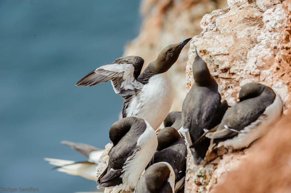 Common Murre - Trottellumme
