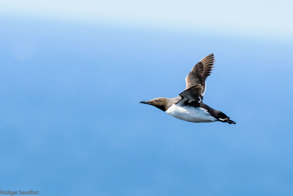 Common Murre / Trottellumme
